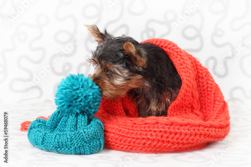 Yorkshire Terrier in a knitted hat and scarf