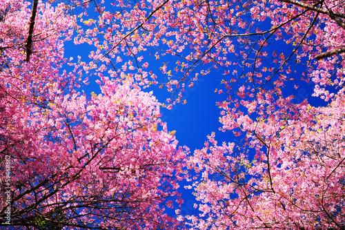 Fotobehang Kersen Pink Sakura Cherry Blossom Flowers in Spring Season