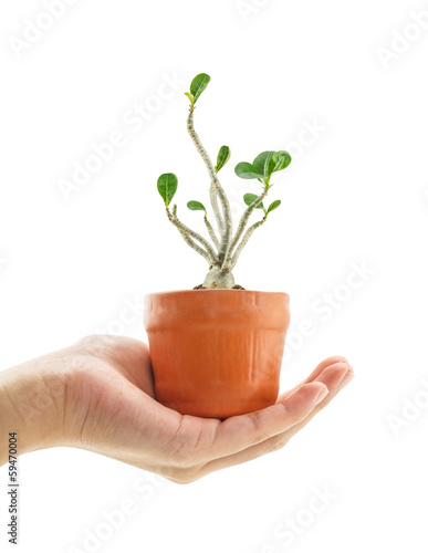 Hand holding a azalea bonsai tree in flower pot