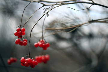 red viburnum berries on a branch
