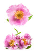 Dog rose (Rosa canina) flowers isolated on white background