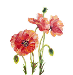 Poppies isolated on white, oil painting