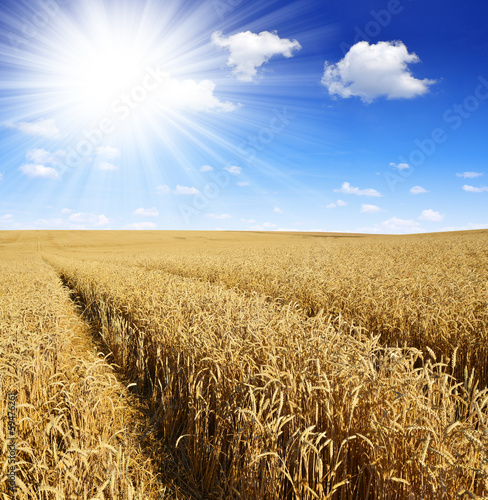 golden wheat with sunny sky