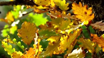 Oak tree leaves in wind breeze - autumnal colors