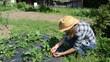 gardener girl woman gather pick ripe strawberry berry in garden