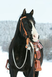 Nice paint horse with horse equipment in winter