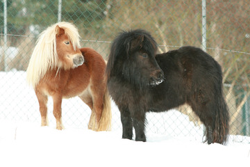 Two shetland ponnies standing together in winter