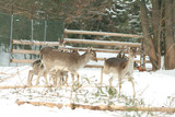 Herd of deer together in winter