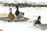 Some ducks standing in water in winter