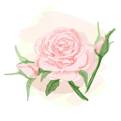 Bouquet of pink roses. Vector image.