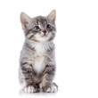 The gray striped kitten