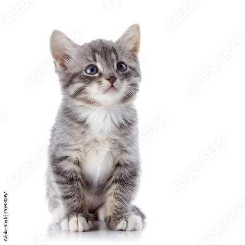 The gray striped kitten