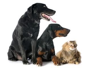 labrador retriever, cat and dobermann
