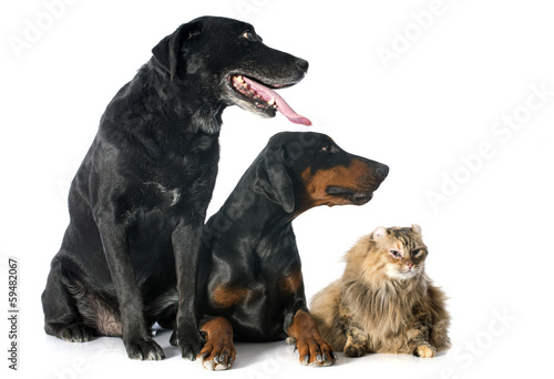 labrador retriever, cat and dobermann