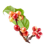 Coffee beans on a branch of coffee tree