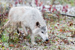 Blonde Wolf (Canis lupus) Trots Through Light Snowfall