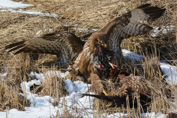 Buzzard eating pheasant