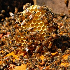 Honeybees on Comb