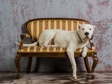 Argentine pedigree dog lying on a plush sofa poster