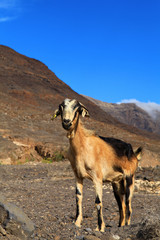 Goat in a mountain. Fuerteventura, Canary Islands.