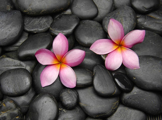Two pink frangipani flowers on Pebbles