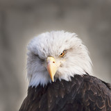 The face of a bald eagle, haliaeetus leucocephalus