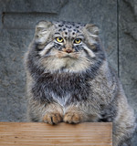 Portrait of a Pallas' cat, or manul cat, or otocolobus manual.