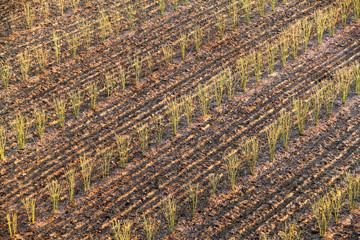 Sugarcane seedlings.