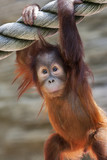 Stare of an orangutan baby, hanging on thick rope.