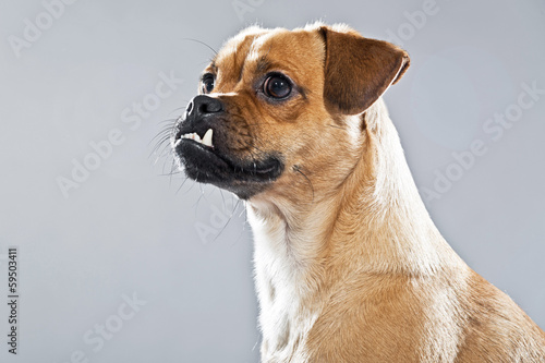 Mixed breed dog pug and lhasa apso. Studio shot against grey.