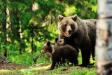 Brown bear family in forest - 59503675