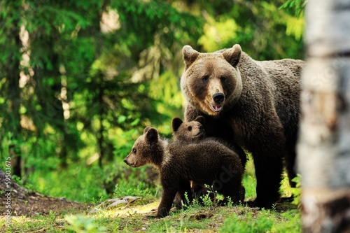 Foto Spatwand Dragen Brown bear family in forest