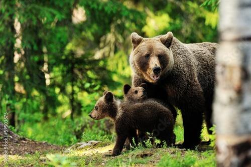 Fotobehang Dragen Brown bear family in forest