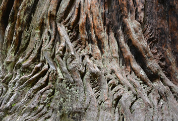 Sequoia bark background