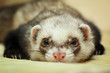 Funny ferret on bamboo mat