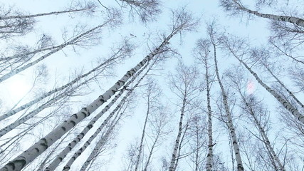 Fisheye view on to the birch tops: wind moves trunks of trees
