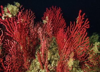 Italy, Tyrrhenian sea, U.W. photo, red gorgonians