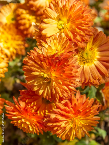 Bouquet of orange autumn chrysanthemums