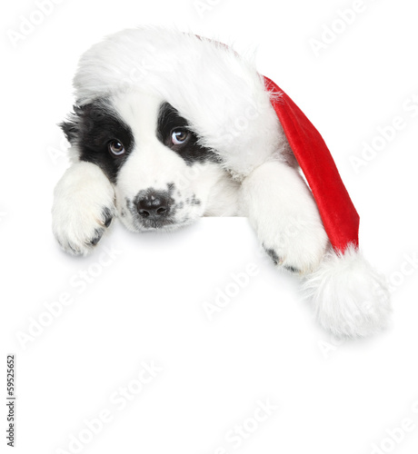 Puppy in Santa christmas red hat on a white banner