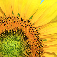 Closeup of beautiful sunflower