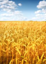 Pole pszenicy na tle błękitnego nieba