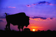 American Bison silhouette against sunrise