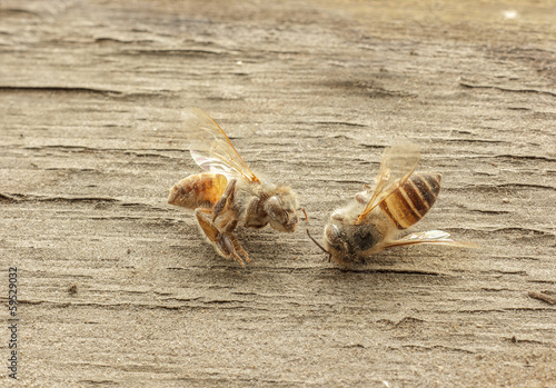dead bee on wooden background.