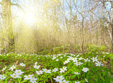 sun in spring forest with white anemones