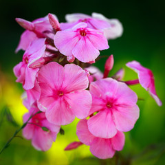 rose phlox flower