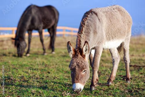 Foto op Canvas Ezel Grey donkey and black horse