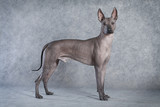 Hairless xoloitzcuintle dog