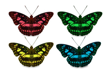 Four color of Blackvein Sergeant butterfly