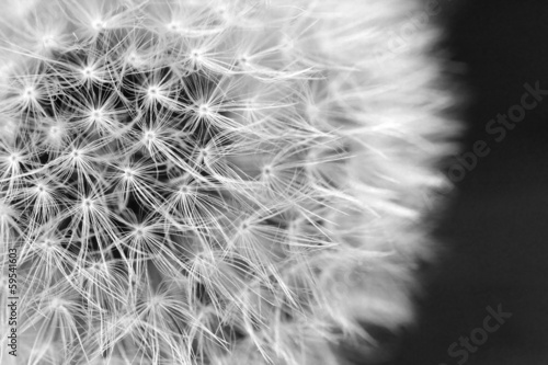 The Dandelion background. - 59541603