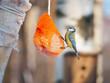tit bird on a bird feeder in winter park